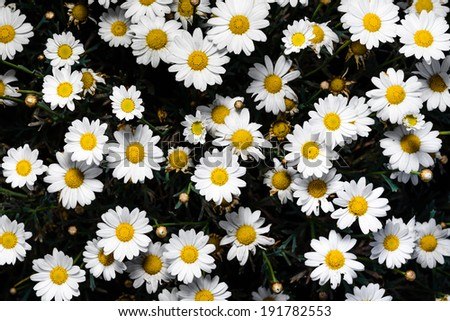 Matricaria chamomilla - stock photo