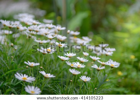 Matricaria chamomilla flowers on meadow, close up view, - stock photo