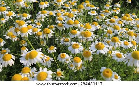 Matricaria chamomilla flowers on meadow, selective focus - stock photo