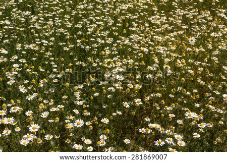 Matricaria Chamomilla recutita. Common chamomile field. - stock photo