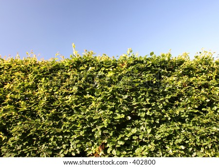 Mature beech hedge photographed in late afternoon sunlight - stock photo
