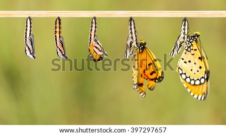 Mature cocoon transform to Tawny Coster butterfly with clipping path  - stock photo