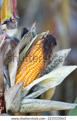 Mature corn cobe onthe field - before harvesting - stock photo