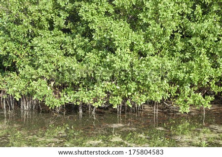 Mature dense mangrove trees growing in shallow lagoon Chacmuchuc in Isla Blanca, Quintana Roo, Mexico - stock photo