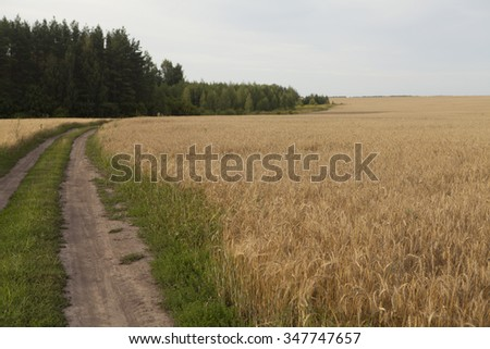 Mature ears of wheat. Wheat field near the road - stock photo