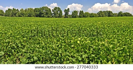 Mature Field Of Soybeans/ Soybeans Ready For Picking - stock photo