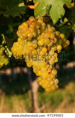Mature grapes in the vineyard - stock photo