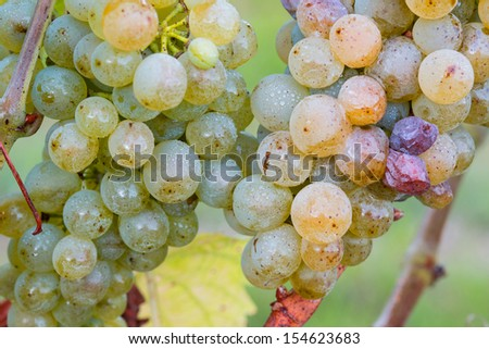 Mature green / white grapes in the vineyards. Ready for harvest. - stock photo