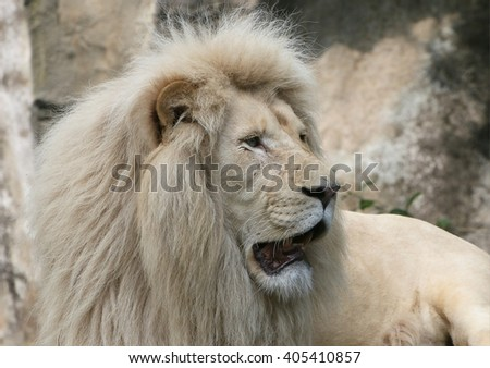 Mature male Southeast African White Lion (Panthera leo krugerii), a rare variety also known as Transvaal lion. - stock photo