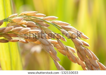 Mature paddy rice. Rice is a staple food of Asia. - stock photo