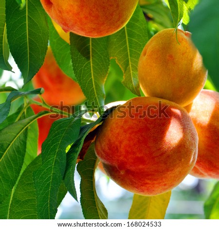 mature peaches growing among green leaves - stock photo
