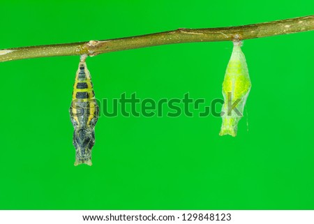 Mature pupa of lime butterfly just before its emerging hanging beside another young pupa, green background - stock photo