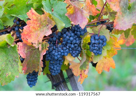 Mature red wine grapes in the vineyard - stock photo