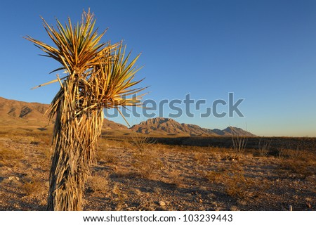 Mature Spanish Dagger Yucca in front of a the Franklin Mountains. Copy space on right. - stock photo