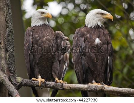 Mature White Headed Bald Eagles Sitting in Tree Washington - stock photo