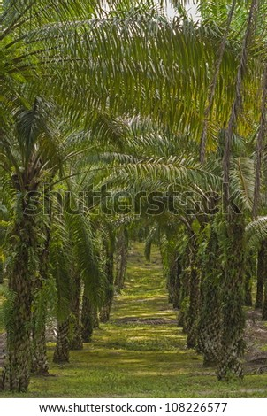Matured Oil Palm Trees. Unsharpened file - stock photo