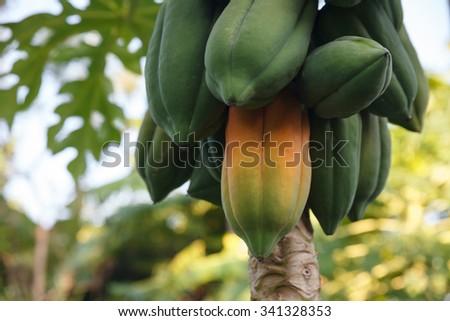 Maturing papaya on the papaya tree. - stock photo