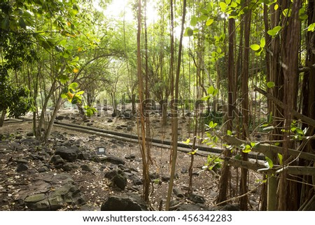 Mauritian tropical forest, with Banyan tree roots dangling from the tree canopy, volcanic rocks scattered across the floor, and warm, soothing sunlight. - stock photo