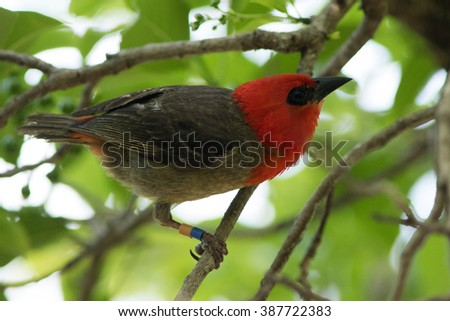 Mauritius Fody (Foudia rubra) in a tree on a small island outside Mauritius. An endemic species with a population of only 250 individuals.  - stock photo