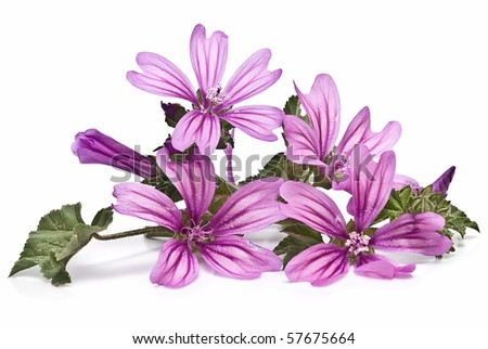 Mauve flowers isolated on a white background. - stock photo