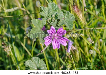 Mauve purple flower of Common Mallow (Malva sylvestris). Also it acquired the common names of Cheeses, High Mallow, Tall Mallow. - stock photo
