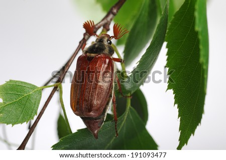 May-bug beetle on the tree - stock photo