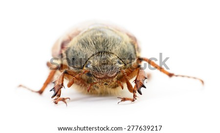 may bug macro isolated on a white background - stock photo