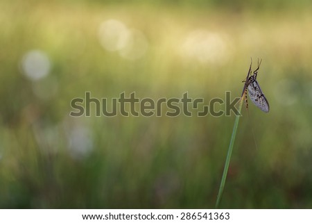 Mayfly - stock photo