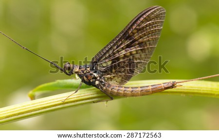 Mayfly, these insects are often imitated by fly fishermen - stock photo