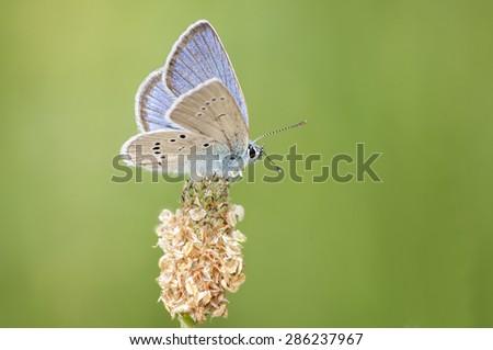 Mazarine Blue butterfly (Cyaniris semiargus) - stock photo
