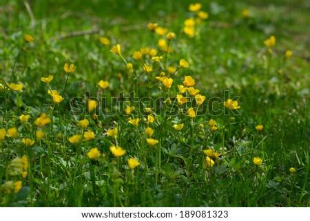 Meadow buttercup (Ranunculus acris) - stock photo