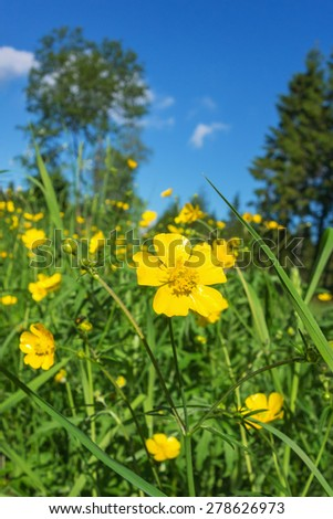 Meadow buttercups flowering on a summer meadow - stock photo