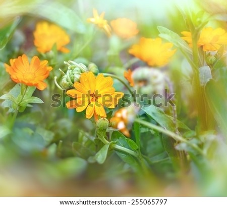 Meadow flowers - beautiful yellow flowers close up - stock photo