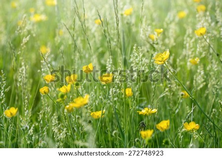 Meadow flowers in grass - buttercup (springtime)  - stock photo