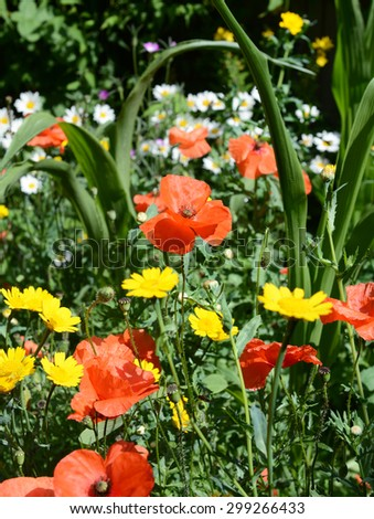 Meadow flowers - poppies, daisies and corn marigolds in a colourful garden - stock photo