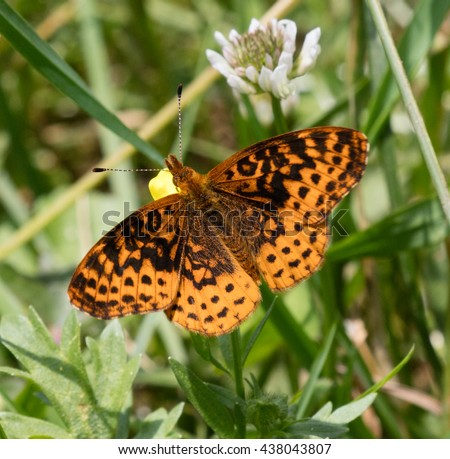 Meadow Fritillary (Boloria bellona) sitting on a buttercup flower - stock photo