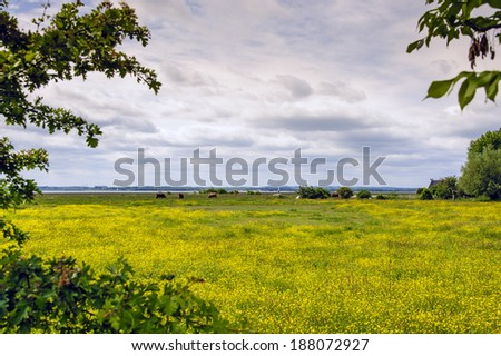 Meadow full of buttercups with cows - stock photo