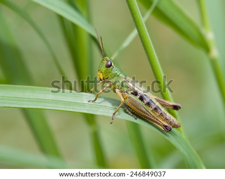 Meadow Grasshopper (Chorthippus parallelus) - stock photo