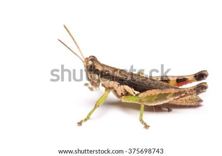 Meadow Grasshopper on white background - stock photo