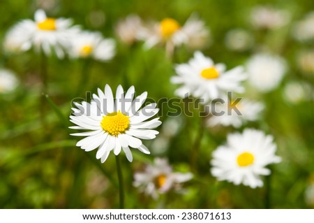 meadow of daisies blurred green grass  - stock photo