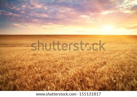 Meadow of wheat. Beautiful landscape.  - stock photo