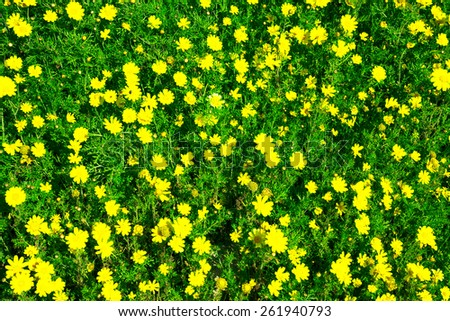 Meadow of yellow flowers among the green grass. Can be used as background. Toned - stock photo