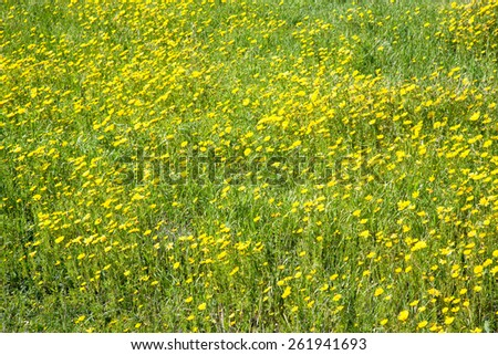 Meadow of yellow flowers among the green grass. Can be used as background. Toned. - stock photo