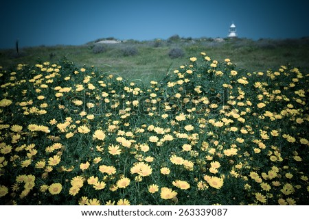 Meadow of yellow flowers among the green grass. Lighthouse in the background and blue sky. Toned. - stock photo
