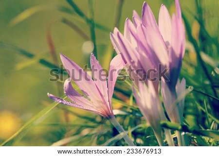 Meadow saffron during autumn blossom in mountains - stock photo