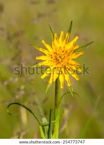 Meadow Salsify (ragopogon pratensis) with green background - stock photo