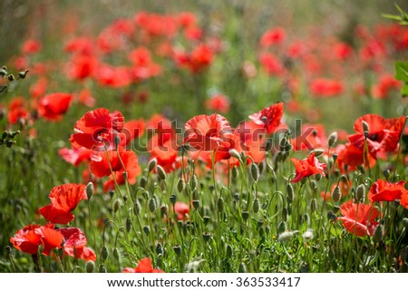 Meadow with beautiful bright red poppy flowers and with too much buds - stock photo