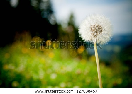 Meadow with dandelions - stock photo