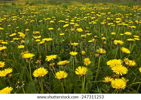 Meadow with lots of blooming yellow dandelions - stock photo