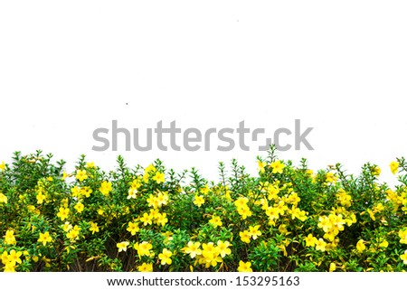 Meadow yellow flower isolated on white background - stock photo